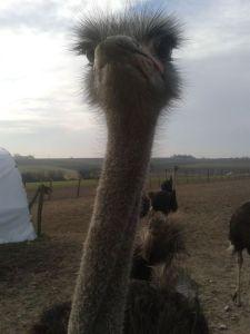 Ostrich heaven